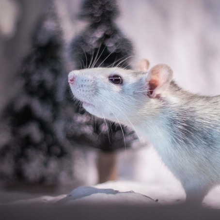 Why Are Mice Moving into Your House This Fall & Winter?
