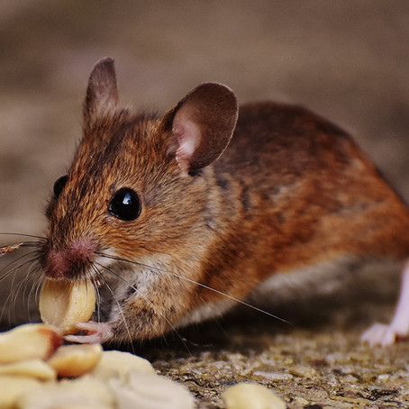 Better Rat Control in Cities Starts by Changing Human Behavior