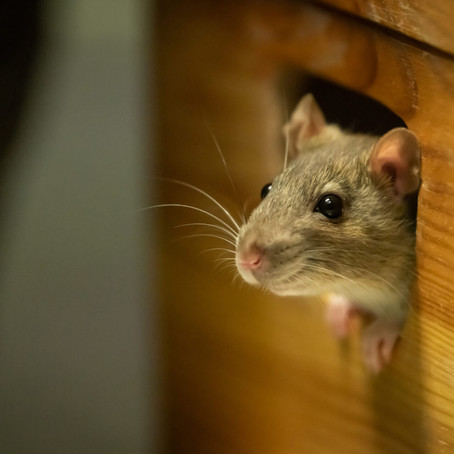 Easy Tips to Prevent Mice and Rodents Inside the Home