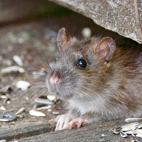 Rat Identification & Prevention