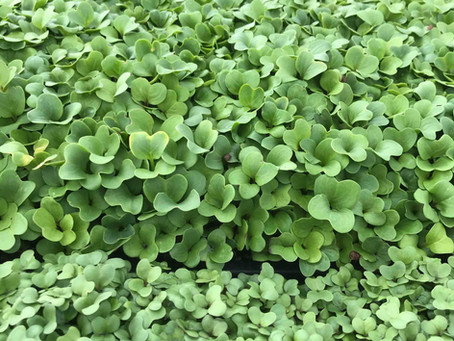 All About Microgreens!