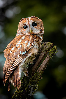 Adult Tawny -1.jpg