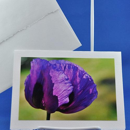Purple Poppy