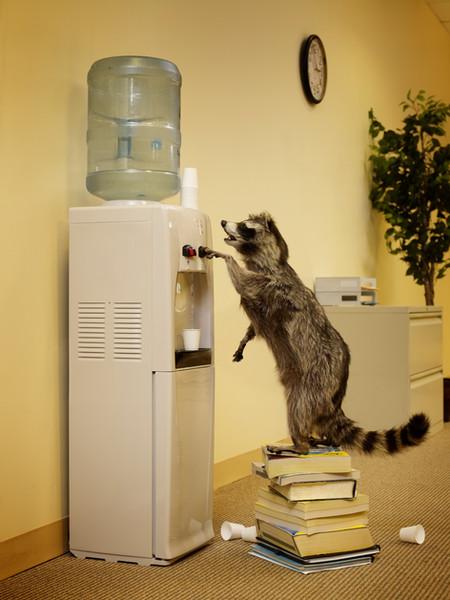 Thirsty Office Raccoon