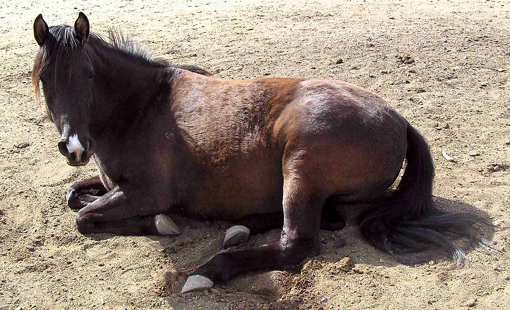 Horse laying down, dirty and uncomfortable
