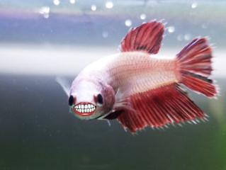 Fun with Betta Fish!
