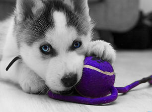 Siberian-Husky-Puppy-Playing-With-Ball.j