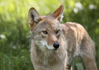SFRA Bulletin #2:  Coyotes, Condos, and Chanukah, (oh my!)