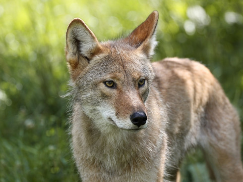 SFRA Bulletin #2:  Coyotes, Condos, and Chanukah, (oh my!)