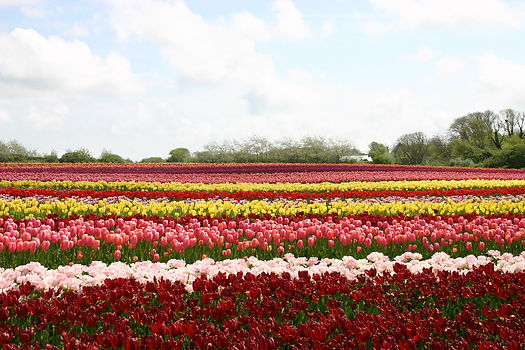 tulips-894355_1920.jpg