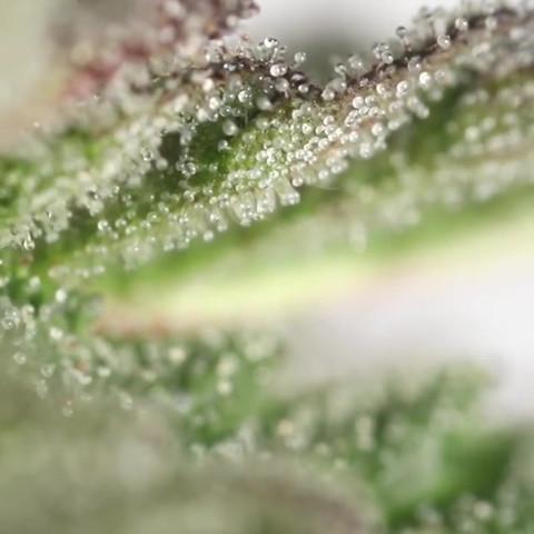 Cannabis_019 (_leafly).mp4