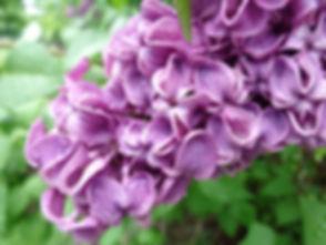 lilac big.jpg