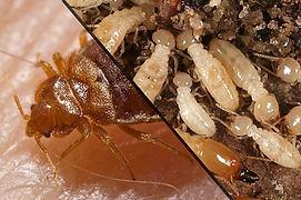 Bed Bugs and Termites