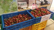 トマトケチャップ開発秘話(1)今帰仁産トマトとの出会いと農業の課題