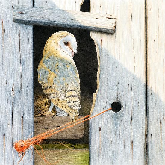 Evening barn owl