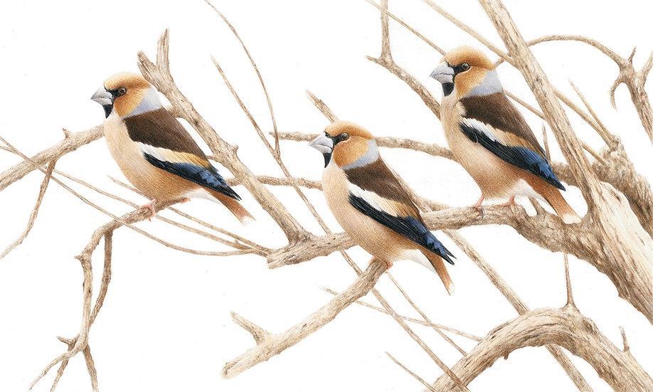 Hawfinch trio