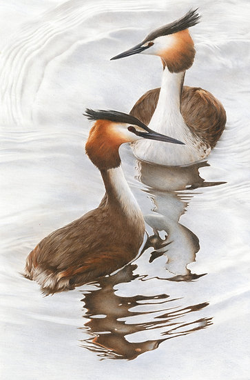 Great-crested grebes - courtship display