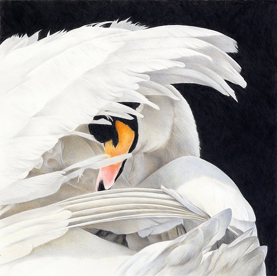 Preening mute swan