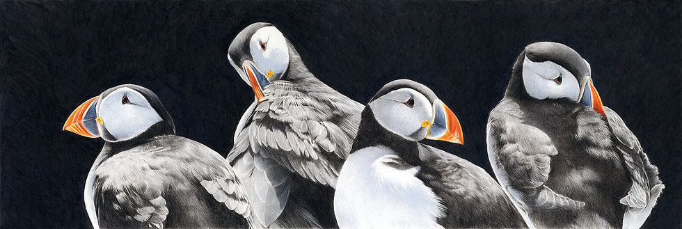 Puffin quartet