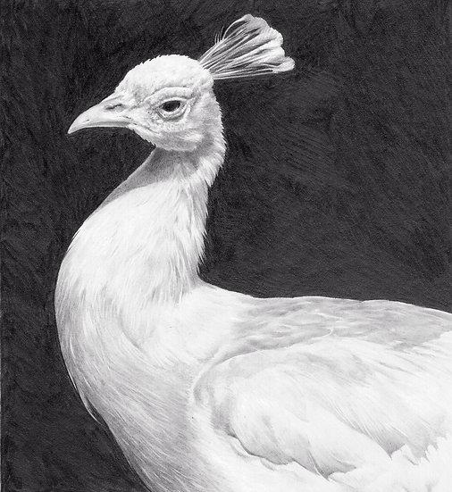 White peacock study
