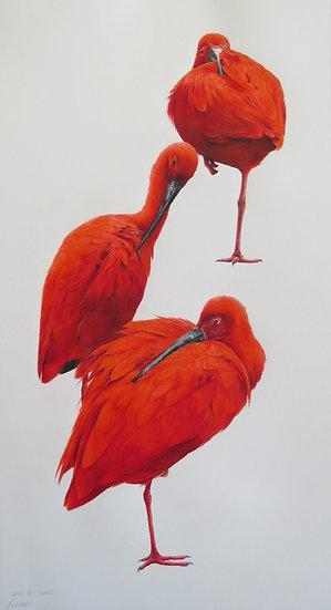 Scarlet ibis study
