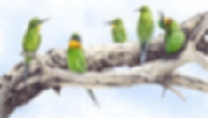 blue cheeked bee eaters mid res (edited-