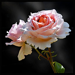 """""""A rose is a rose"""""""