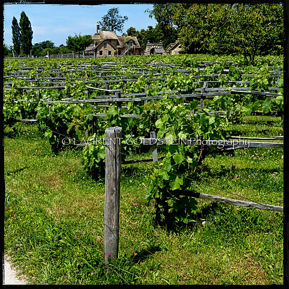 The Queen's vineyard