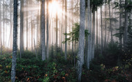 Majestic Old Growth Forests