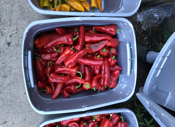 Sweet Peppers (Green)