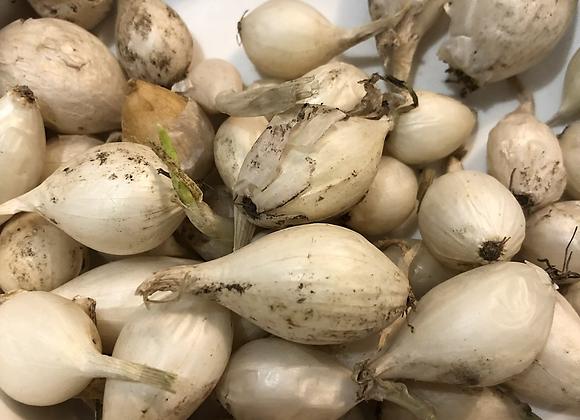 Onion sets (to plant)