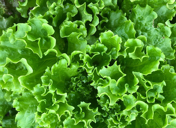 Green Leaf Lettuce Plants