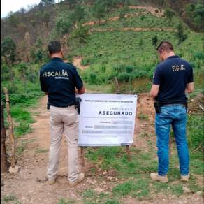 ASEGURAN PREDIO EN PUERTA DE CADENA POR TALA DE ÁRBOLES FORESTALES PARA PLANTAR AGUACATE