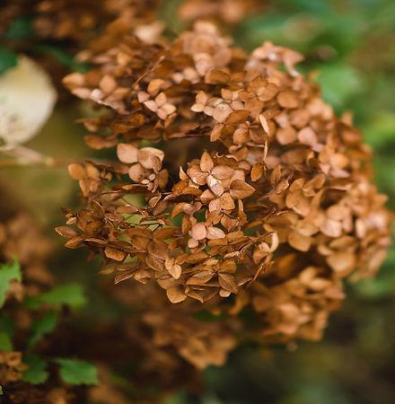 Outdoorfoto_herbst_hortensie.jpg
