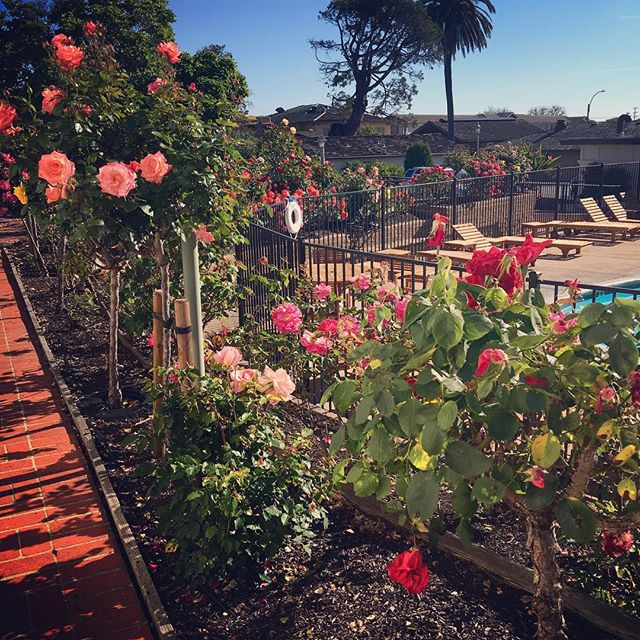 Good morning from Monterey 🌸☀️🌹 #goodm