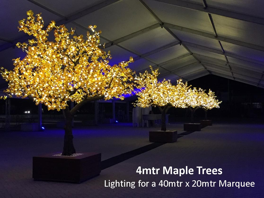 4mtr Maple Trees 1.jpg