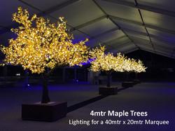 4mtr Maple Trees 1.jpg