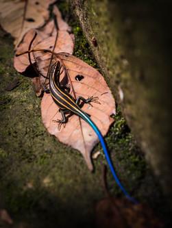 The lizard of Kyushu