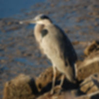 Blue Heron Pitt Meadows wildlife viewing