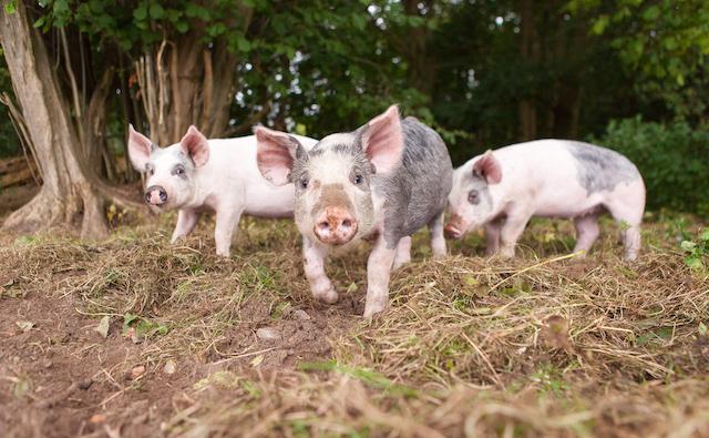 Southrepps Pigs