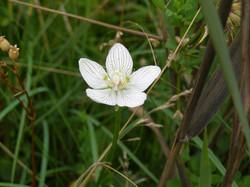 Grass of Parnassus Southrepps Common
