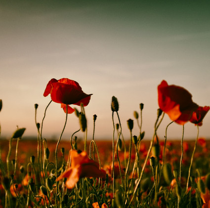poppy-7.jpg