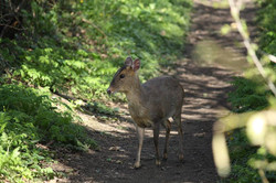 Deer on the Common - Southrepps