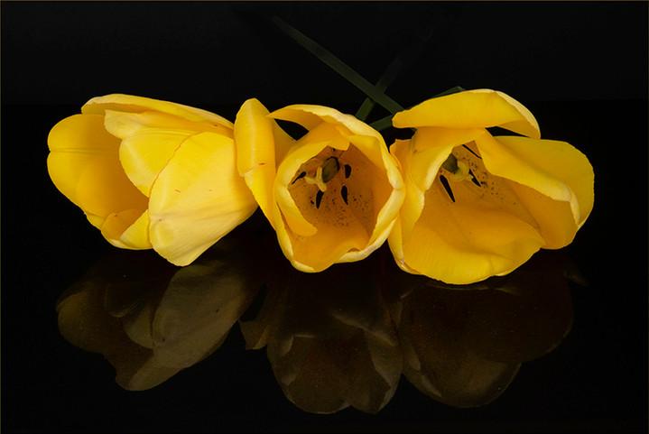 Tulips Three