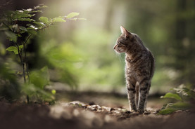 Tiger-Lilly