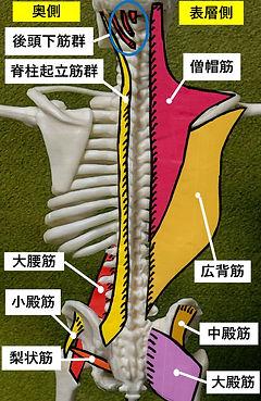 全身筋肉起始腱[798].jpg