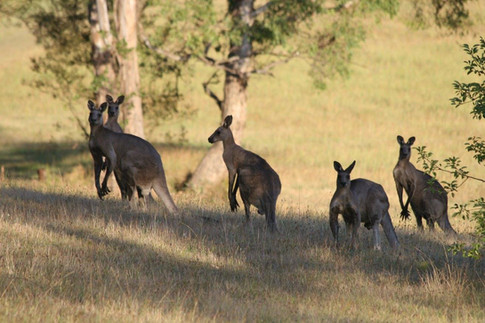 Local Kangaroos