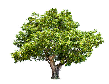 isolated big tree on White Background.L