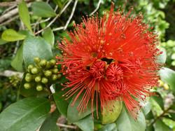 Rata flower