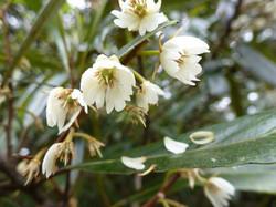 Hinau flowers